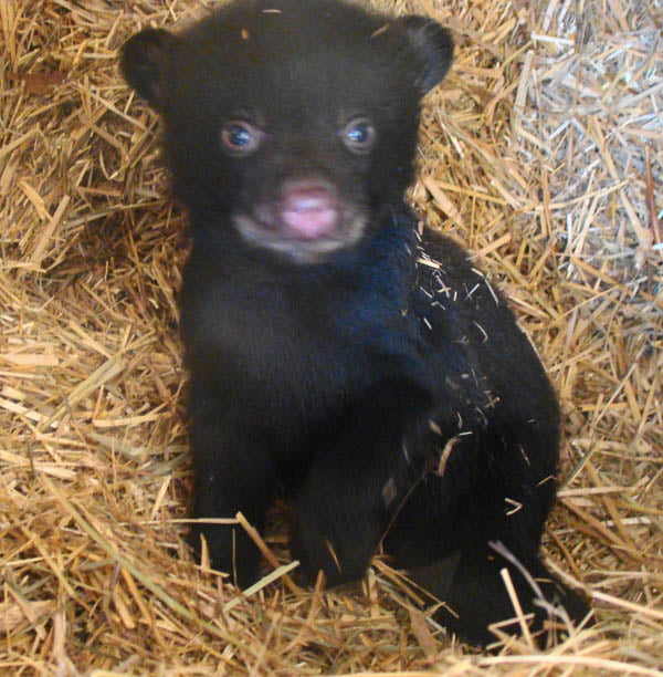 """At fifty-one days, the cub has grown into a real cutie. As the weather begins to moderate, Rosenthal, Rose and the cub enjoy long visits and some playtime. Rosenthal has found contentment and rewards in caring for and rehabilitating animals. Being a part of """"Rose's family"""" may very well top the list."""