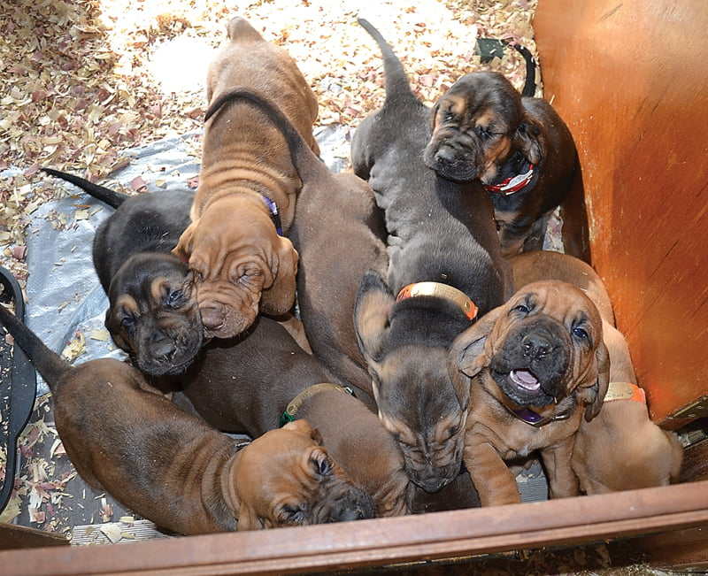 The newest litter of 12 bloodhound puppies beg for attention after an afternoon nap. Dave and Sandy Weik, of Dunmore, have a waiting list of customers looking for quality AKCbloodhounds like these pups. S. Stewart photo