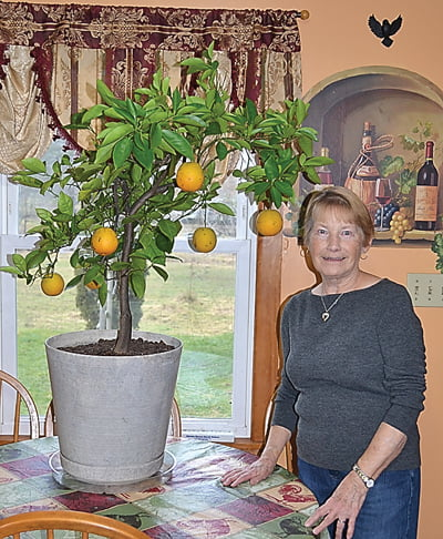 Elke Taylor, of Dunmore, started this orange tree from seed several years ago and has enjoyed the fruits of her labor ever since. She also has several lemon trees that bear fruit, and a grapefruit tree, which has yet to add to the fruit basket. S. Stewart photo