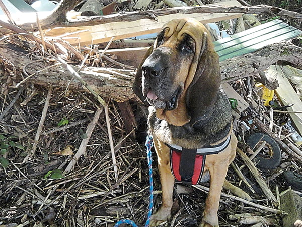 Dave and Sandy Weik's bloodhound Lady Bird sits among the debris in Caldwell where she located missing teen Mykala Phillips. Photo courtesy of Dave Weik