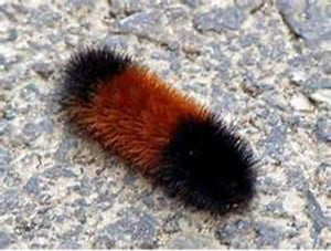 The first thing to know about the wooly worm is that it isn't a worm at all. It's the larval stage of a           Isabella Tiger Mothcaterpillar.While it's fun to predict the weather by their markings, the wooly worm is, perhaps, more accurately recording the weather from the previous winter.